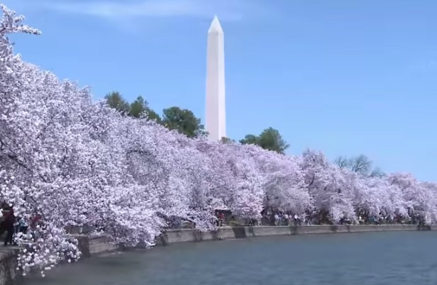 Washington cherry
